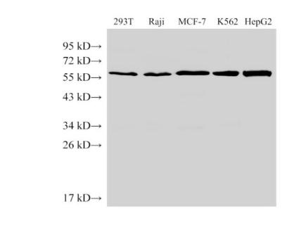 ANGPT2 Polyclonal Antibody