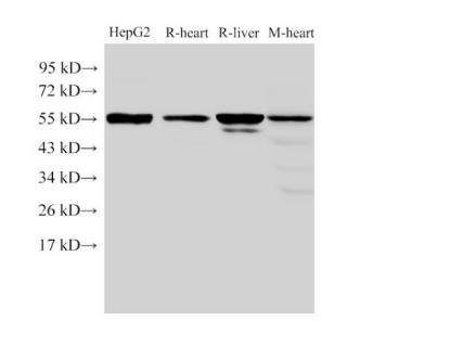 FGB Polyclonal Antibody