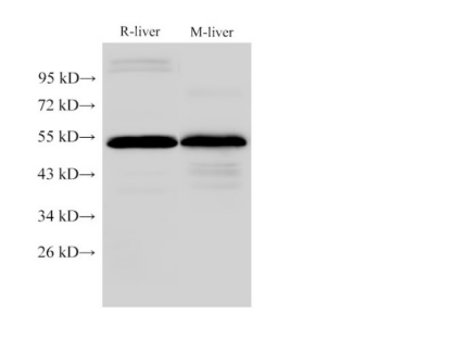 FGG Polyclonal Antibody